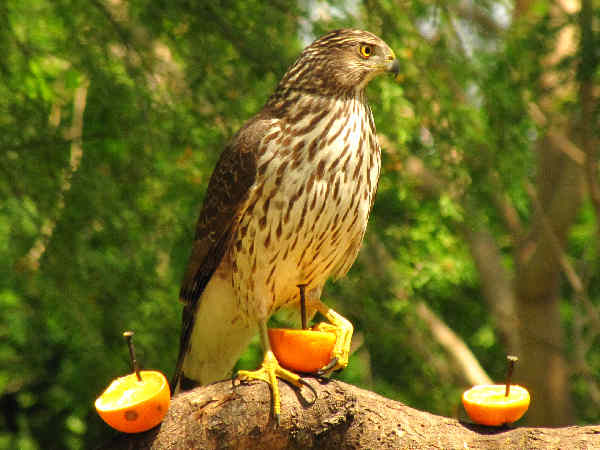 picture of a cooper's hawk, hawk identification