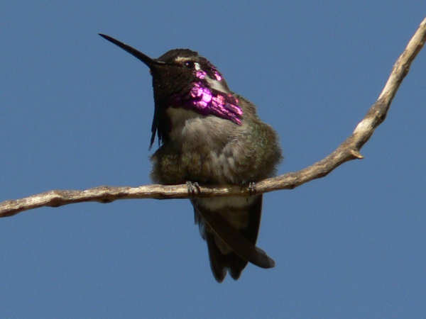 picture of a male Costas Hummingbird