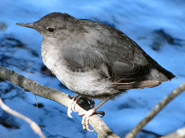 Picture of an American Dipper