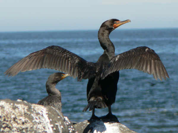 picture of a double Double-crested Cormorant, Phalacrocorax auritus