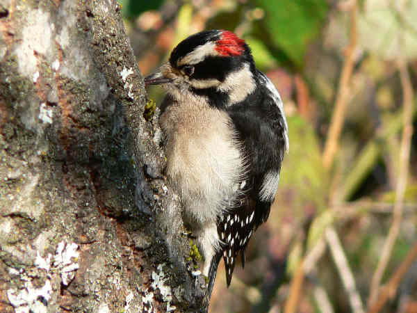 picture of a male downy woodpecker