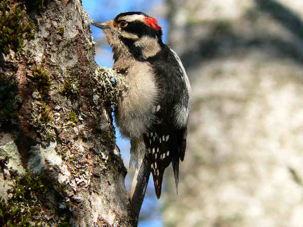 picture of a downy woodpecker, part of the Alaska woodpecker series