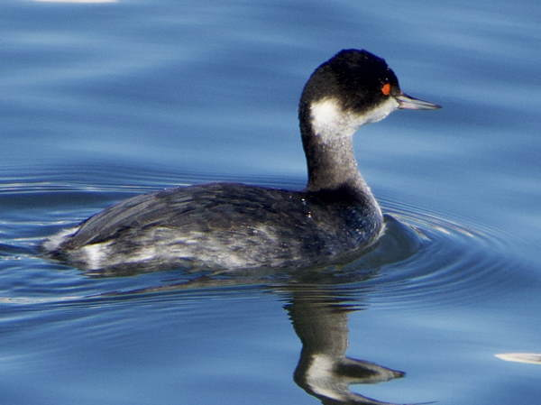 picture of an Eared Grebe