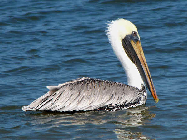 picture of an Eastern Brown Pelican floating on the ocean, state bird of Louisiana