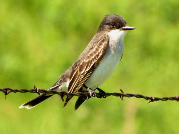 picture of an Eastern Kingbird