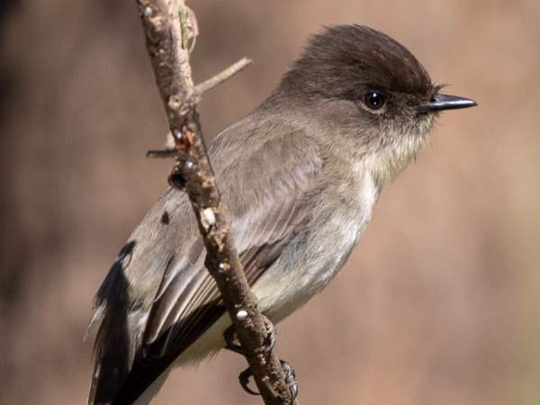 picture of an Eastern Phoebe