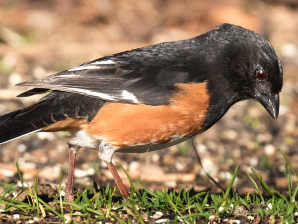 picture of an eastern Towhee, part of the sparrows pictures and identification guide