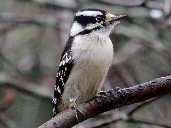 picture of a female downy woodpecker