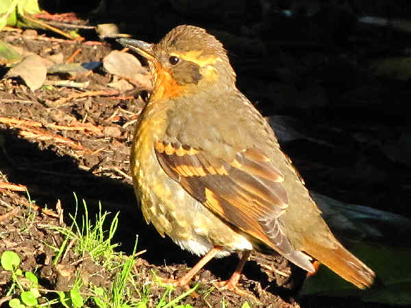 picture of a female Varied Thrush