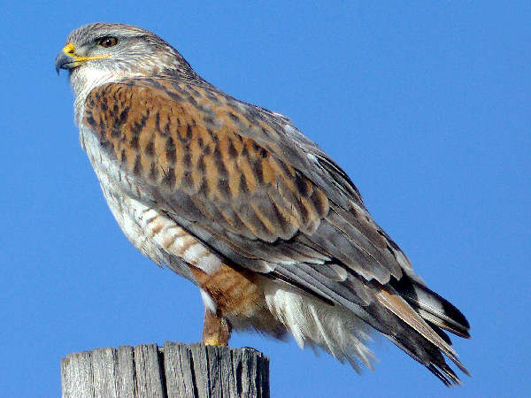 picture of a ferruginous hawk