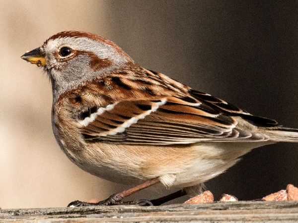picture of a Field Sparrow, and part of the Kansas birds section
