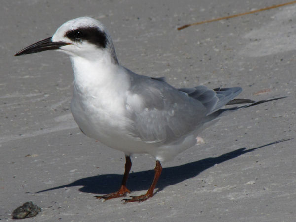 picture of a Forster's Tern in winter plumage
