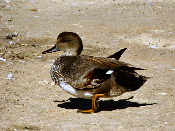 picture of a Gadwell Duck, one of many types of ducks called Dabbling ducks