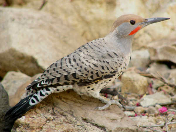 picture of a male Gilded Flicker Woodpecker