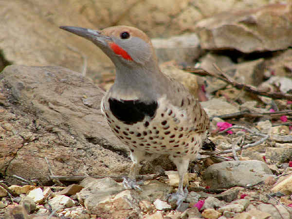 picture of a Gilded Flicker woodpecker