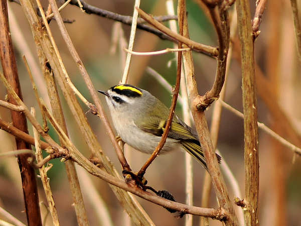 picture of a golden-crowned kinglet, credit: Melissa Mcmasters Flickr
