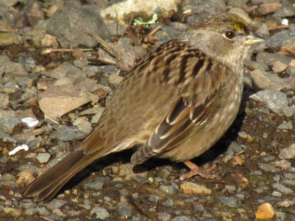 picture of a Golden-crowned Sparrow