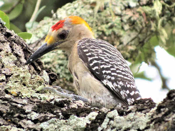 picture of a Golden Fronted woodpecker