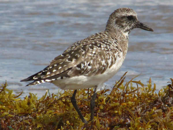 picture of a Golden Plover