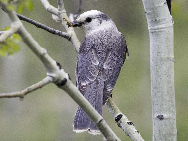 picture of a gray jay, Michigan birds