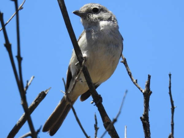 picture of a Gray Vireo