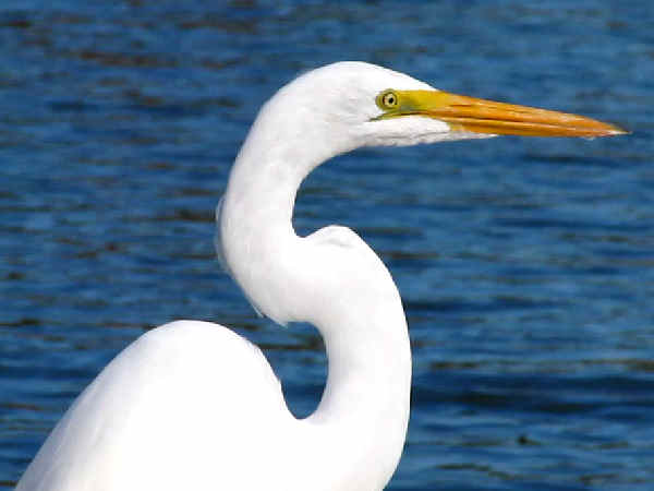 picture of a great Egret