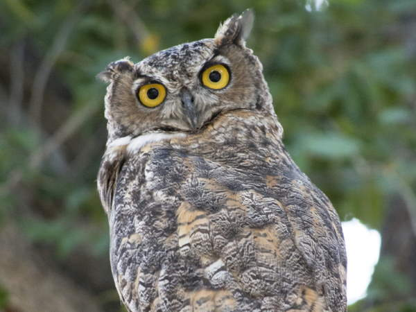 picture of a Great Horned Owl, part of the Owl pictures and identification guide