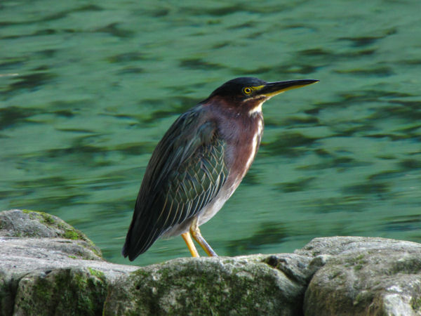 picture of a Green Heron