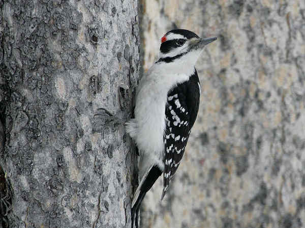 picture of a male Hairy Woodpecker