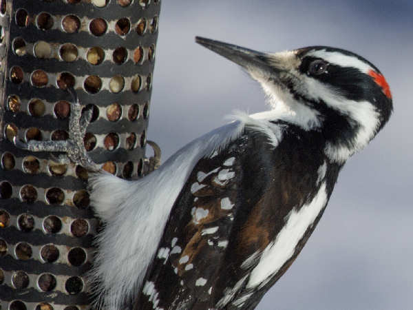 picture of a Hairy Woodpecker at the feeder, credit: David Mitchell, Flickr