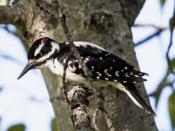 picture of a Hairy Woodpecker