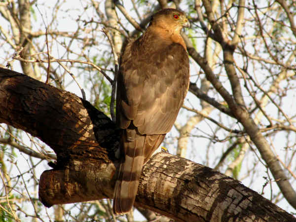 picture of a hawk posing on a tree branch