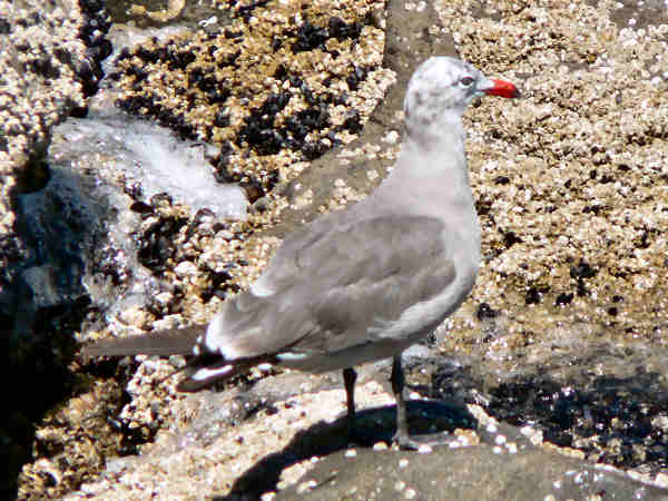 picture of a Heermann's Gull