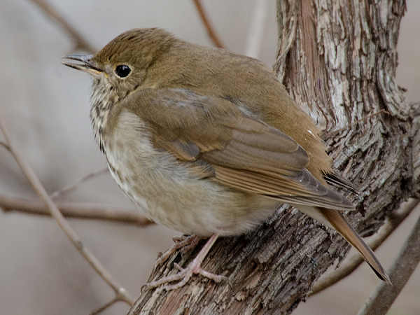 picture of a Hermit Thrush, the state bird of Vermont, and part of the Vermont wildlife series
