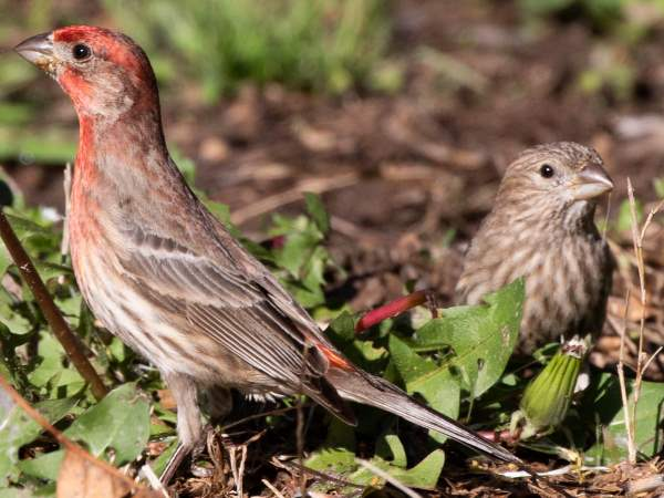 picture of a male and female House Finch