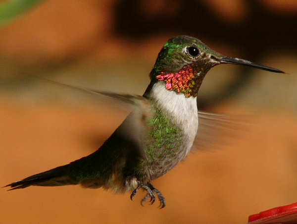 picture of a broad tailed Hummingbird