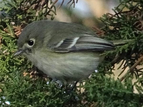 picture of a Hutton's Vireo