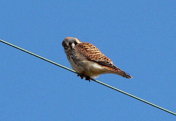picture of an American Kestrel