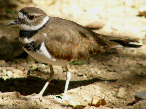 picture of a kildeer