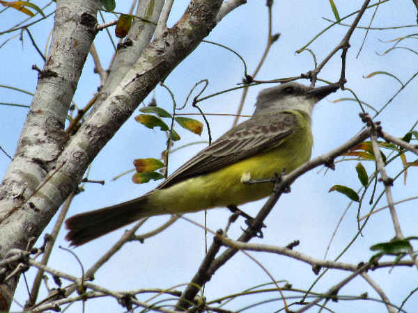 picture of a tropical kingbird (Tyrannus melancholicus)