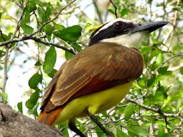 picture of a Great Kiskadee