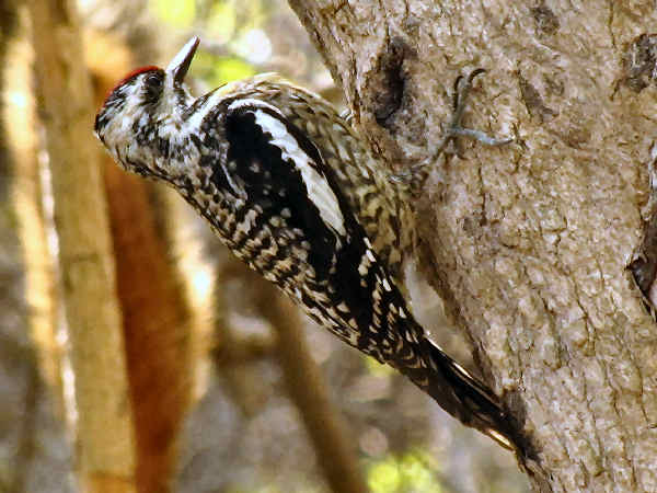 picture of a male ladder-backed woodpecker