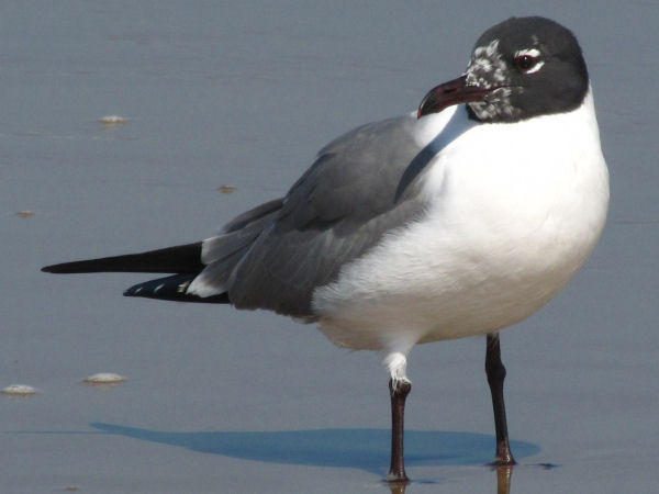 picture of a Laughing Gull