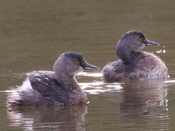 picture of a Least Grebe