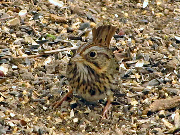picture of a Lincoln's Sparrow