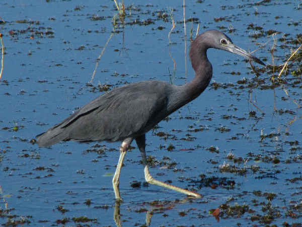 picture of a Little Blue Heron