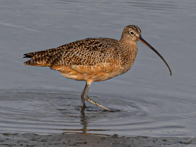 picture of a Long-billed Curlew, shorebirds