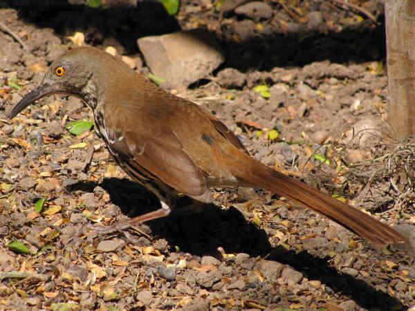 picture of a long-billed-thrasher