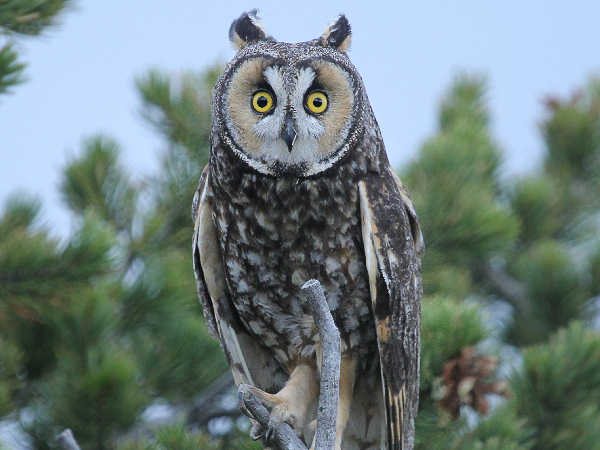 Long Eared Owl, Owl identification