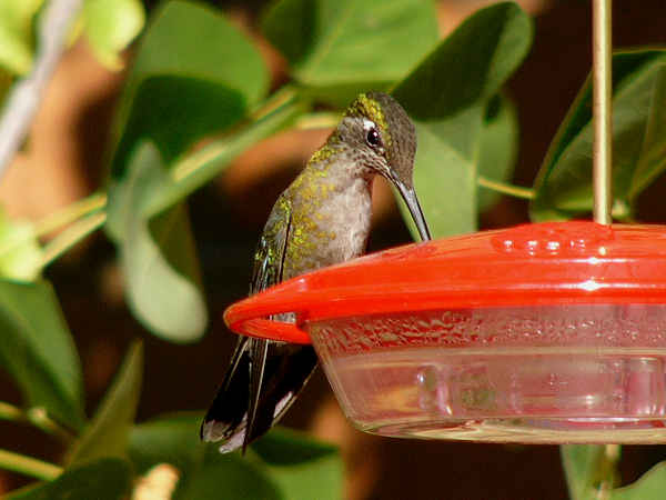 picture of a Magnificent Hummingbird